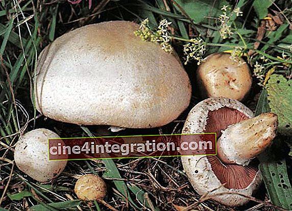Champignon padang rumput