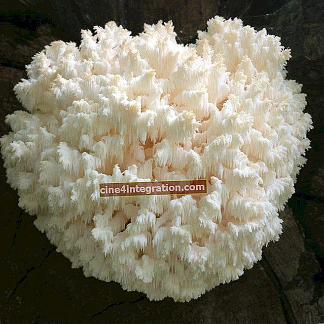 Hericium karang