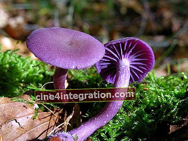 Vernis améthyste (vernis lilas)