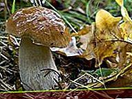 Champignon de chêne blanc (filet de cèpes)