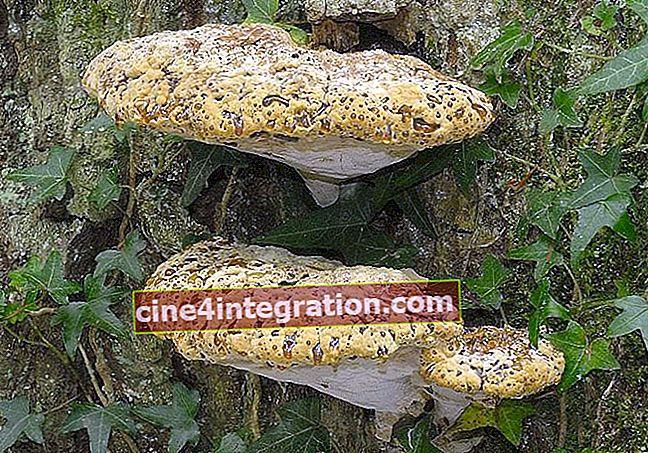 Polypore legnoso