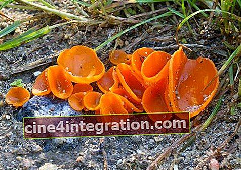 Orange Aleuria