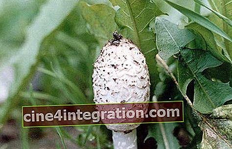 Kumbang tahi putih