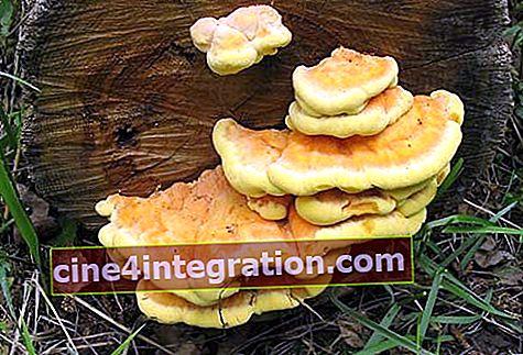 Champignon amadou jaune soufre