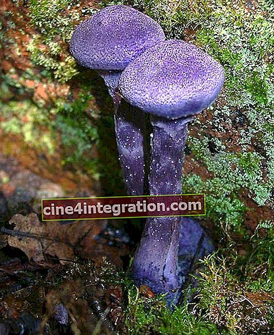 Toile d'araignée violette