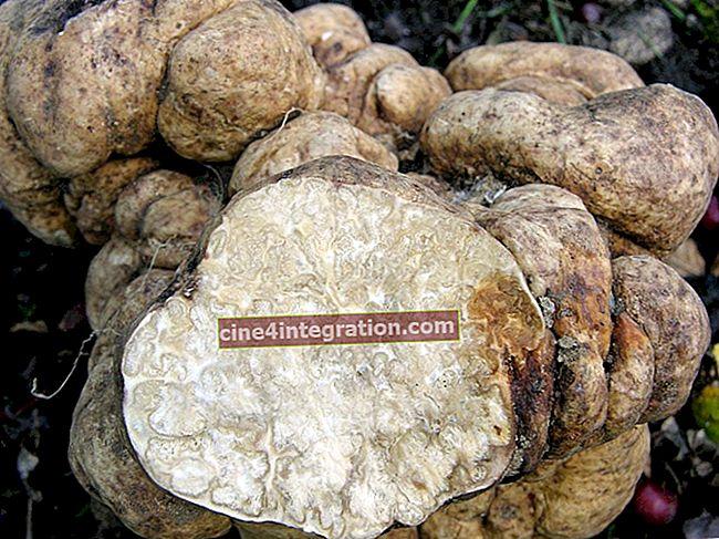 Truffle putih